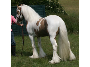 Palomino and white young stallion