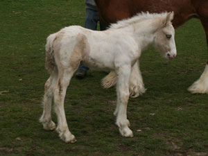 Palomino and white colt out of super heavy mare