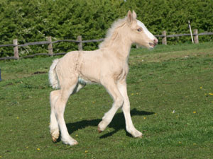 Tralu solid palomino filly
