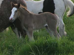 Black silver dapple filly
