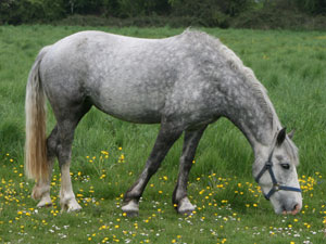Grey mare - jumping pony