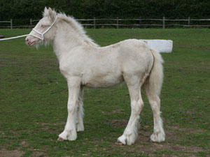 Tralu solid cremello filly