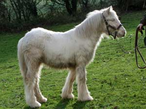 Tralu x Pinky cremello filly