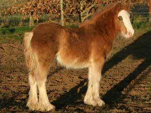 Fancy - SILVER CHESTNUT