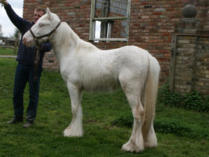 Coates White Knight - solid cremello colt