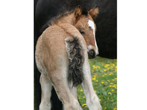 Elsa filly - true BAY DUN
