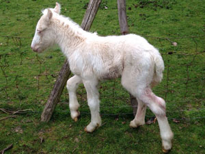 Cremello and white filly by Pinky