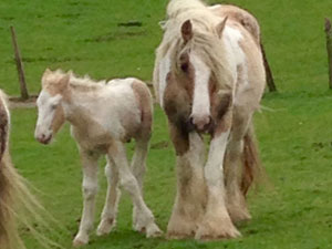 Palomino and white colt out of Tralu x Pinky